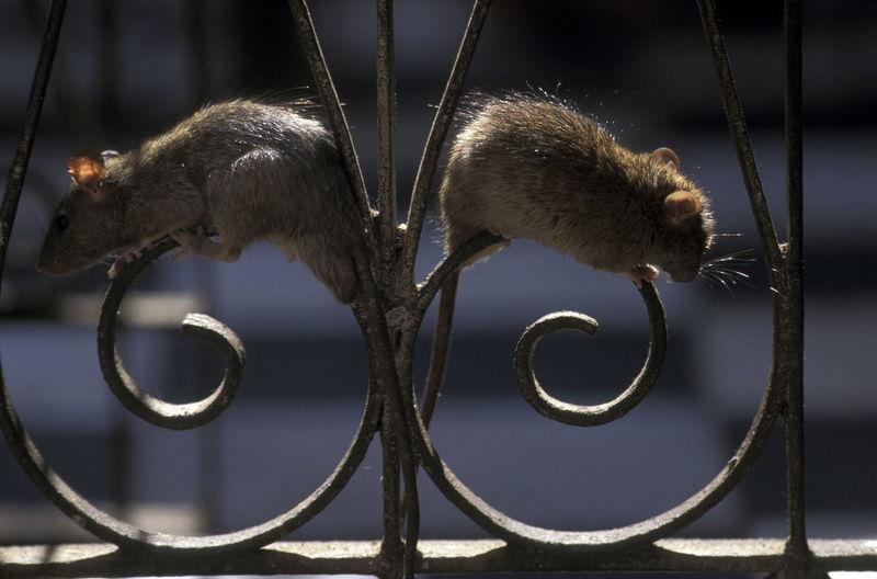 Close-up of rats on metallic railing
