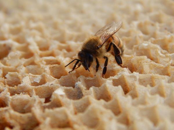 EyeEm Selects Beeswax Bee Workerbee