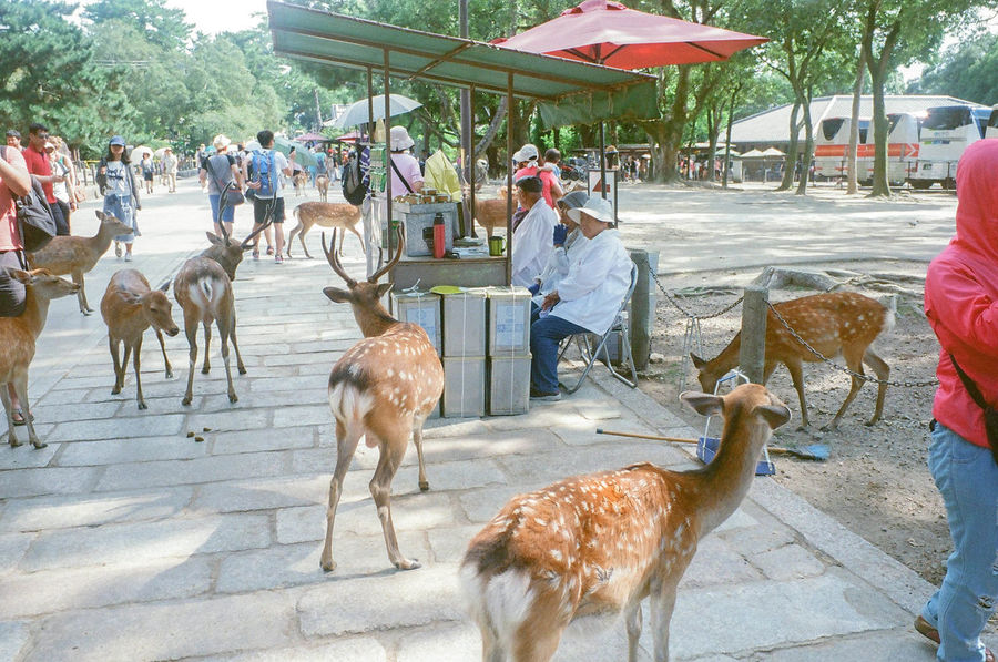 Animal Themes Livestock Domestic Animals Day Large Group Of People Mammal Outdoors Large Group Of Animals Market Real People Nature People Sky Only Men Adult Travel Japan Nature Park Nara,Japan Nara Deer Walking Tree Temple