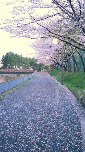 とある桜の日