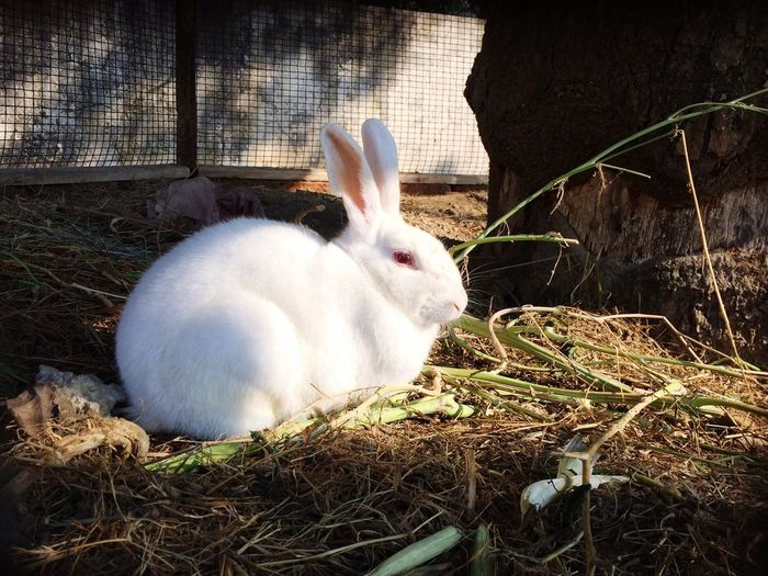 Rabbit - Animal White Color Day Nature Grass Mammal Red Eyes Beauty In Nature