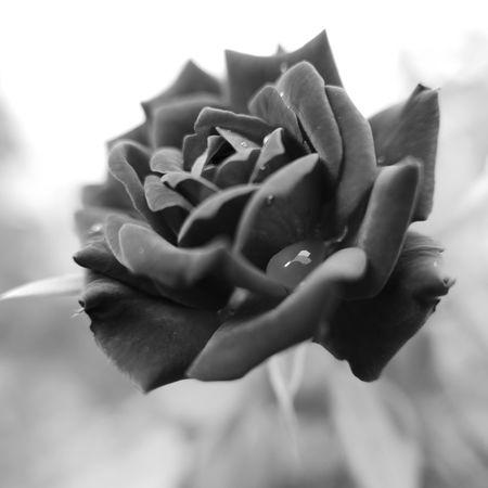nothing like roses in mum's garden Roses Rain Drops Monochrome EyeEm EyeEm Nature Lover EyeEm Best Shots OpenEdit Leica D-lux Typ109 Nature On Your Doorstep in my garden in Himachal, India