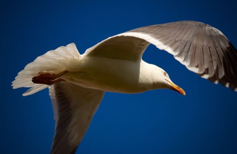 Bird Animal Themes Animals In The Wild Wildlife Blue One Animal Clear Sky Close-up Low Angle View Beak Animal Head  Flying Nature Outdoors Animal Wing Beauty In Nature Flight No People Animal Behavior Seagull
