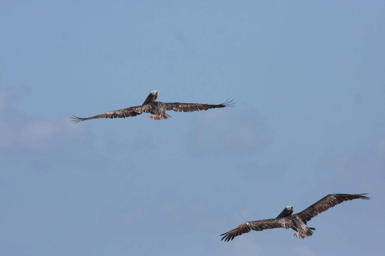 Low Angle View Of Pelicans Flying Against Blue Sky