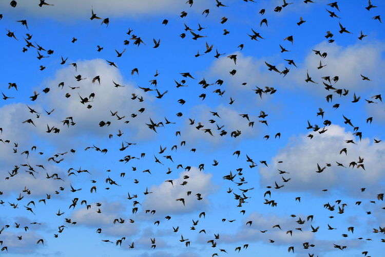 Animal Animal Themes Animal Wildlife Animals In The Wild Beauty In Nature Bird Blackbirds Blackbirds And Cloudy Sky Blue Cloud - Sky Day Directly Below Flock Of Birds Flying Group Of Animals Large Group Of Animals Low Angle View Mid-air Motion Nature No People Outdoors Sky Vertebrate