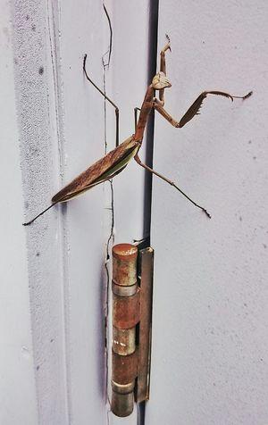 Praying mantis visiting work Praying Mantis Abugslife Rustygoodness Rustographer Rust Never Sleeps Bugs Bugs World