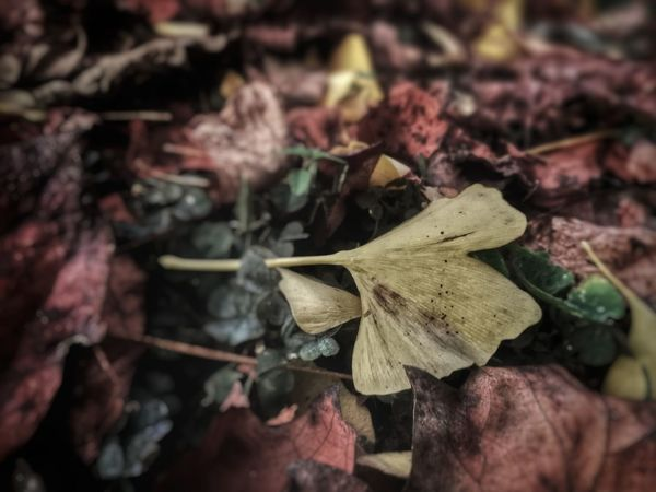 No People Close-up Outdoors Day Nature Leaves Autumn Colors Autumn Collection Autumnbeauty Colors Colors Of Autumn Photography Picoftheday For Sale Sale Formarket Marketplace Premium Collection BUYNOW