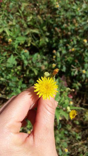 Flower yelon Flower Pefect Photos Beauty In Nature Photography Beautiful ♥ Plant Dente-de-leão