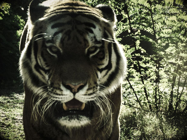 Tigers Animal Animal Head  Animal Themes Animal Wildlife Animals In The Wild Big Cat Cat Crepuscular Light Feline Forest Land Looking At Camera Mammal Mouth Open Nature No People One Animal Outdoors Portrait Tiger Tree Whisker White Tiger