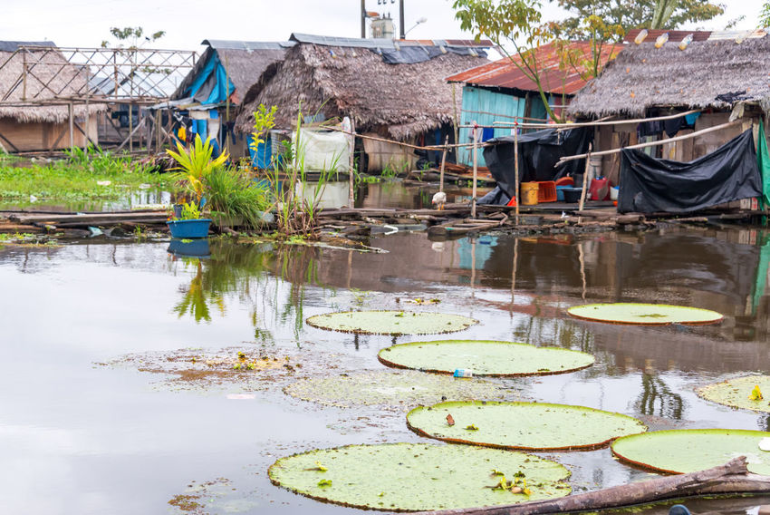 Victoria Amazonica, world's largest lily pad growing in a slum in Iquitos, Peru Amazon Amazon River Amazonas Amazonia Architecture Belén Building Exterior Day Floating On Water Iquitos  Latin America Lily Lily Pad No People Outdoors Peru Peruvian Reflection River Slum South America Victoria Amazonica Victoria Regia Water