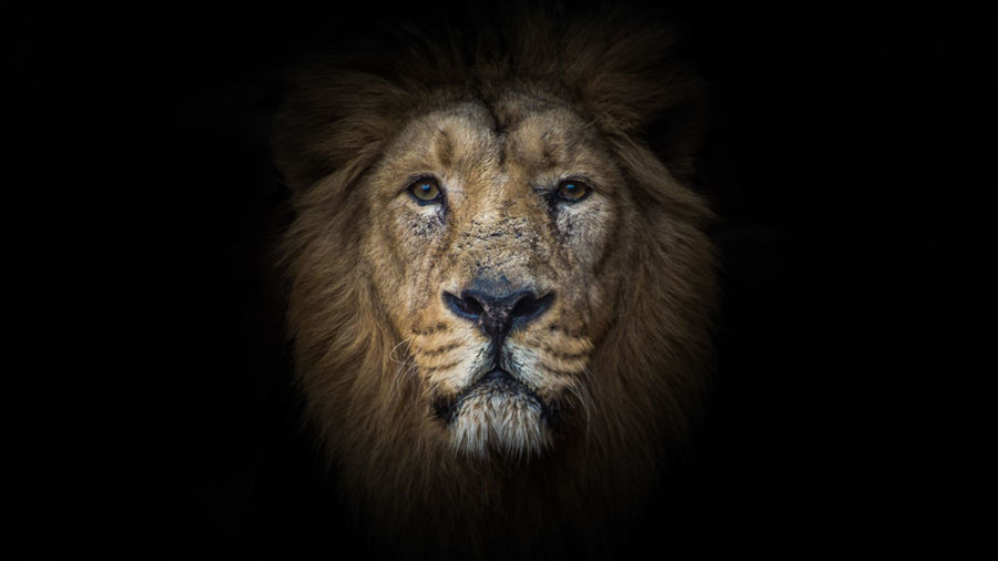 Animal Animal Head  Animal Photography Animal Themes Animal_collection Background Edit Face Lion Lions No People One Animal Portrait