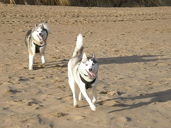 Siberian Husky (Skye) and Alaskan Malamute (Sila) playing chase on the beach