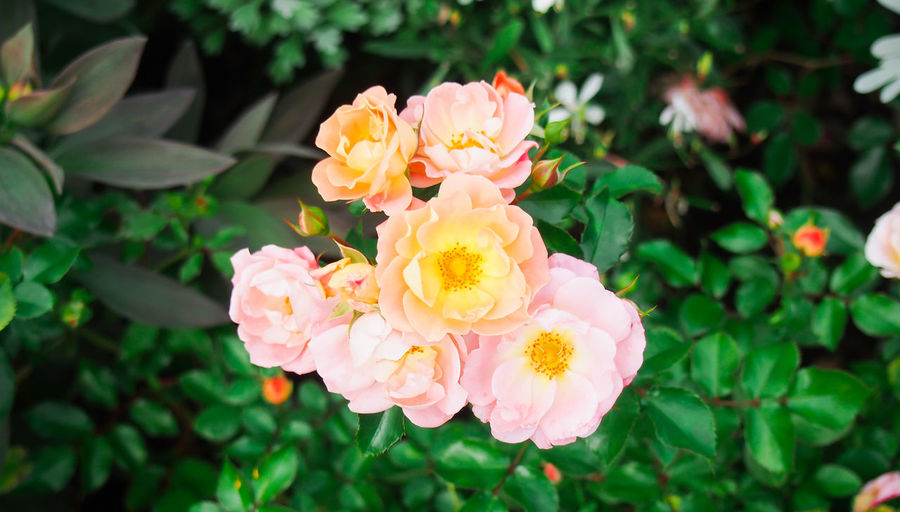 A bouquet of love Center Green Love Orange Pink Valentine's Day  Beauty In Nature Bloom Blossom Botanical Garden Close-up Floral Flower Flower Head Freshness Group Of Objects Nature Outdoors Petal Plant Rose - Flower