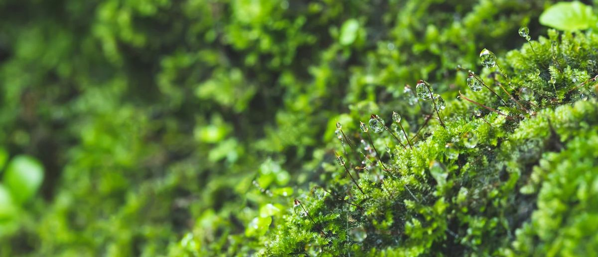 Natural green moss in the forest