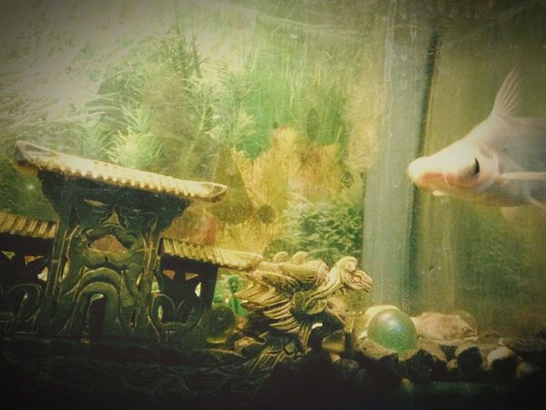 My dad`s fish tank, taken by my sister. l Home Lahad Datu Sabah Malaysia l Unknown Date l Unknown Time l Green Color Fish Tank Fish Jade Oriental Dragonboat Aquatic