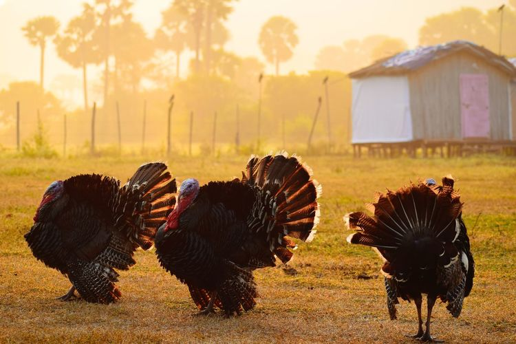 Turkey Hen Bird Birdphotography Bird Photography Animal Themes Animal Photography Sunrise_Collection Sunset Silhouettes Silhouette Sunrise Silhouette Wallpaper Beauty In Nature Rural Scene Animal Themes Grass Livestock Landscape Spread Wings Flock Of Birds The Great Outdoors - 2019 EyeEm Awards