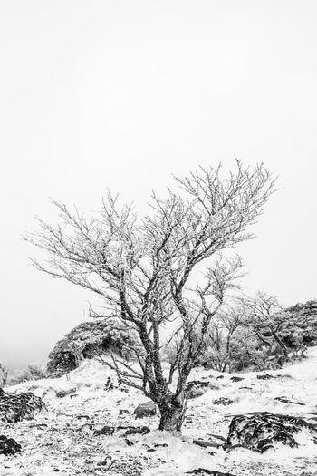 Bare tree on snow covered land against clear sky