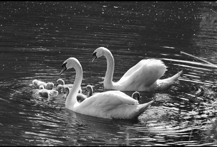 Swans With Cygnet Swimming In Lake