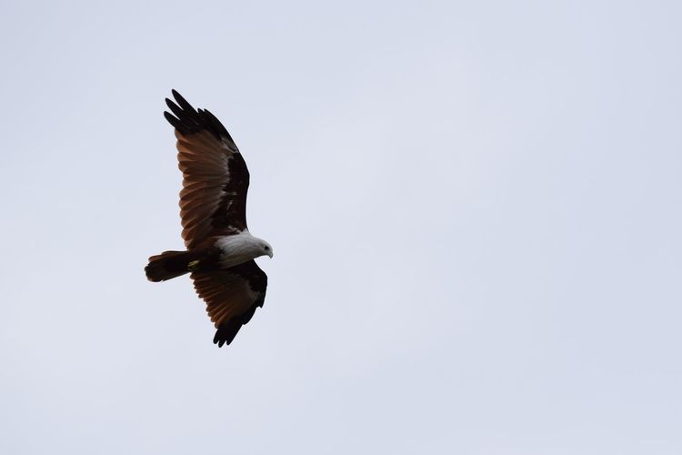 Animal Themes Animals In The Wild Beauty In Nature Bird Brahmani Kite Clear Sky Copy Space Flight Flying Nature No People One Animal Outdoors Spread Wings Tranquility Wildlife Zoology
