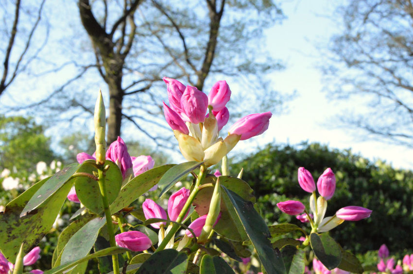 Flowers rhododendron in the city park under spring City Rhododendron Beauty Beauty In Nature Blossom Botanical Close-up Colorful Day Flower Flower Head Flowering Plant Flowers Focus On Foreground Fragility Freshness Growth Inflorescence Nature No People Outdoors Park Petal Pink Color Plant Season  Spring Springtime Summer Tree Vulnerability