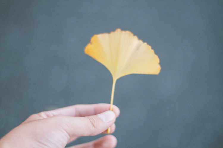 Cropped image of hand holding ginkgo leaf