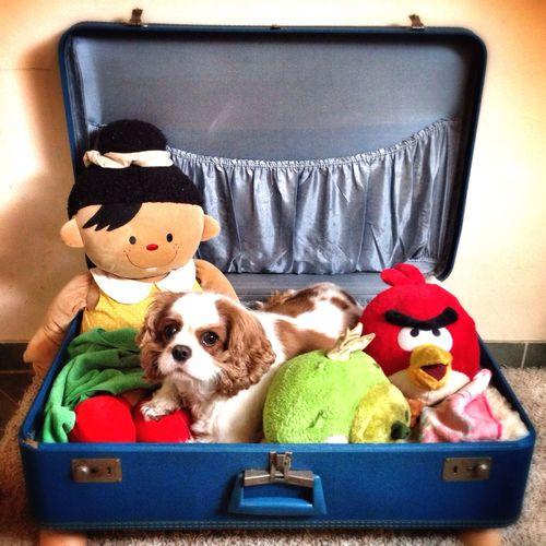 Charlie The Cav Cavalier King Charles Spaniel Cavlife Dog Colorful Toys