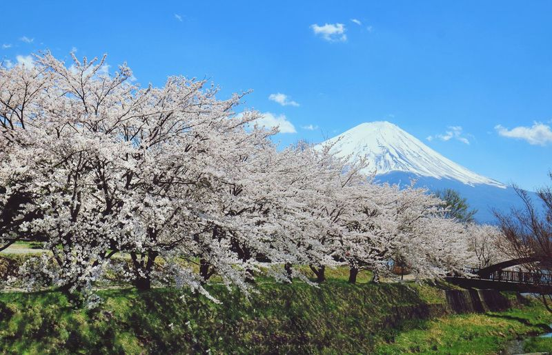 Mt.Fuji Japannature Japantravel Canon Japan Landscape Tree Mountain Agriculture Sky Grass Landscape Cherry Blossom Blossom Blooming Cherry Tree In Bloom
