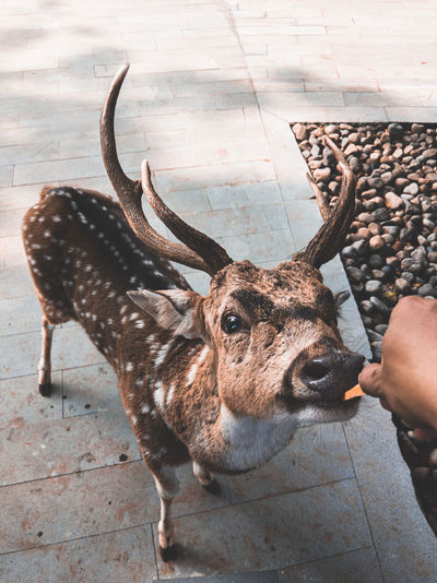 Cropped hand feeding deer at zoo