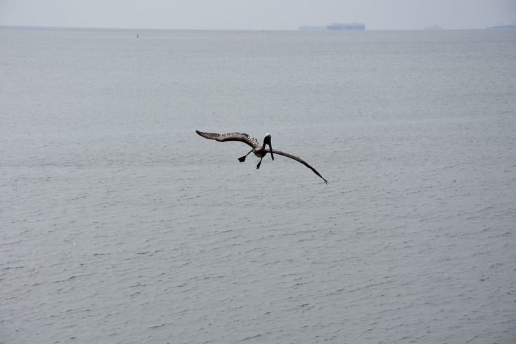 Animals Beauty In Nature Flying Focus Nature Outdoors Pelican Tranquility