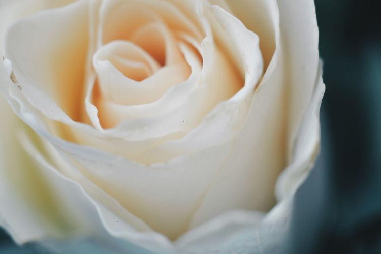 Detail Shot Of Rose