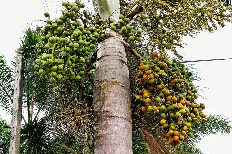 Macadamia Farm Macadamianut Macadamia Tree MacadamiaOil Macadamia Nuts Macadamia Tree Fruit Green Color Healthy Eating Tropical Fruit Food And Drink Palm Tree Food Tree Trunk Growth Agriculture Low Angle View Freshness Tropical Climate Day Banana Bunch Branch Outdoors Nature