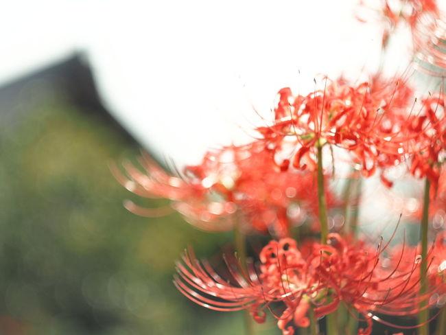 Cluster Amaryllis Spiderlily Bokeh Lights Bokeh Flower Tree Defocused Red Beauty Flower Head Autumn Pastel Colored Close-up