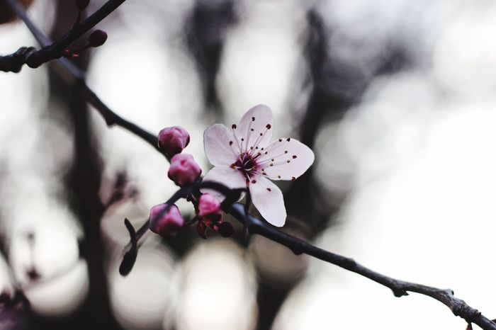 Fragility Flower Freshness Nature Beauty In Nature Growth Close-up Flower Head Twig Day No People Branch Tree Outdoors Plum Blossom Canon Canon600D Canoneos Canonphotography CanonEOS600D Millennial Pink