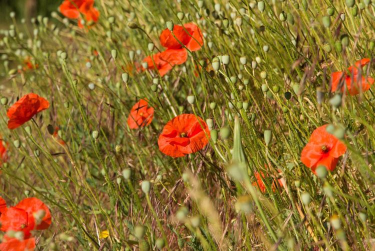 Flower Growth Poppy Plant Red Nature Field Grass Summer Beauty In Nature Petal No People Outdoors Poppy Flowers Poppies  Day Fragility Blooming Flower Head