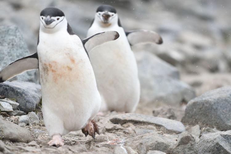 Close-up of penguins on rocks