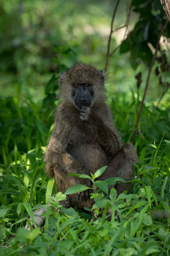 Nature Tanzania Travel Africa Animal Animal Family Animal Wildlife Animals In The Wild Baboon Day Green Color Growth Land Mammal Nature No People Olive Baboon One Animal Outdoors Plant Portrait Primate Safari Sitting Vertebrate Wildlife