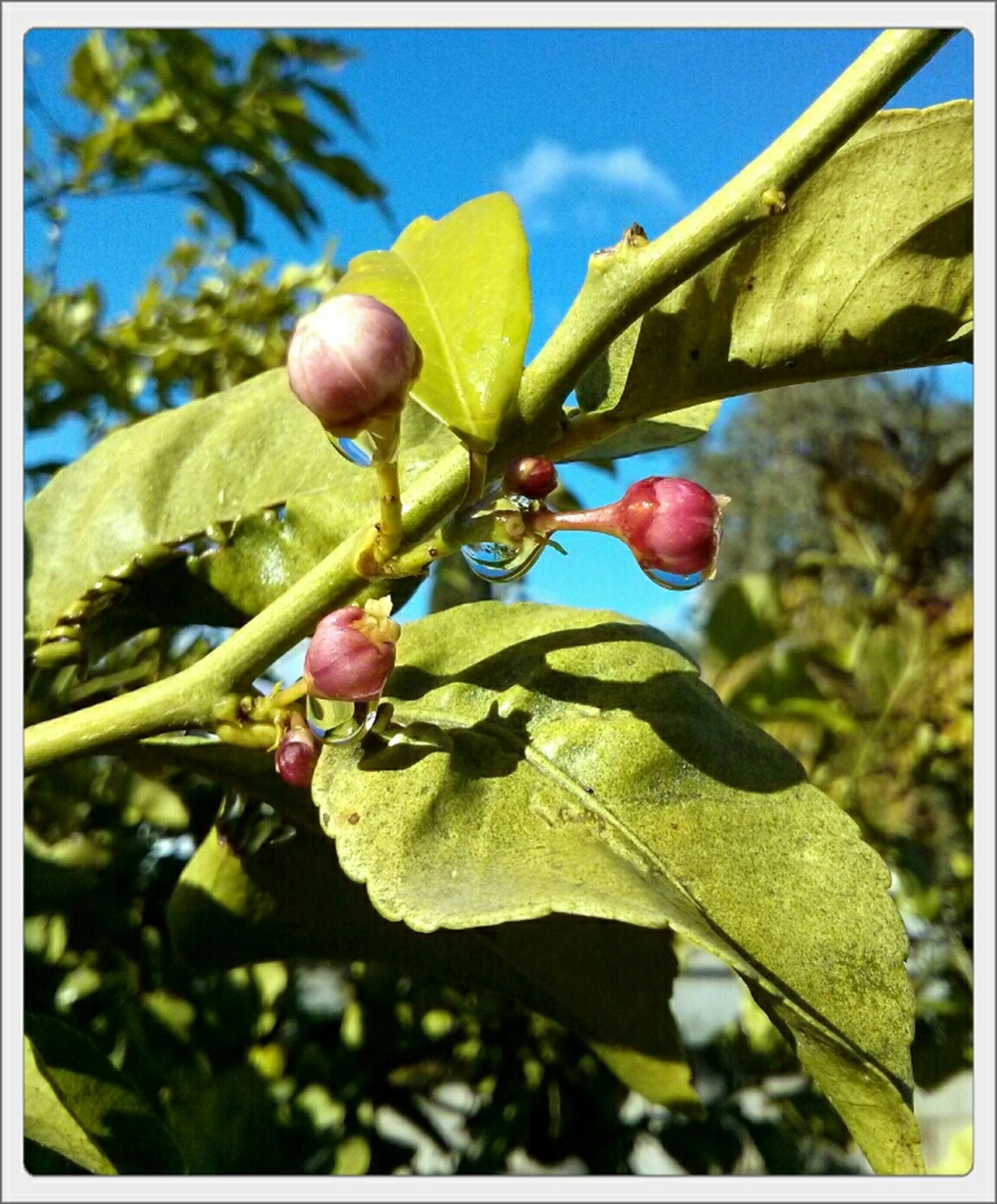 growth, freshness, leaf, flower, close-up, branch, tree, focus on foreground, fruit, nature, low angle view, transfer print, beauty in nature, bud, plant, day, sky, outdoors, fragility, food and drink