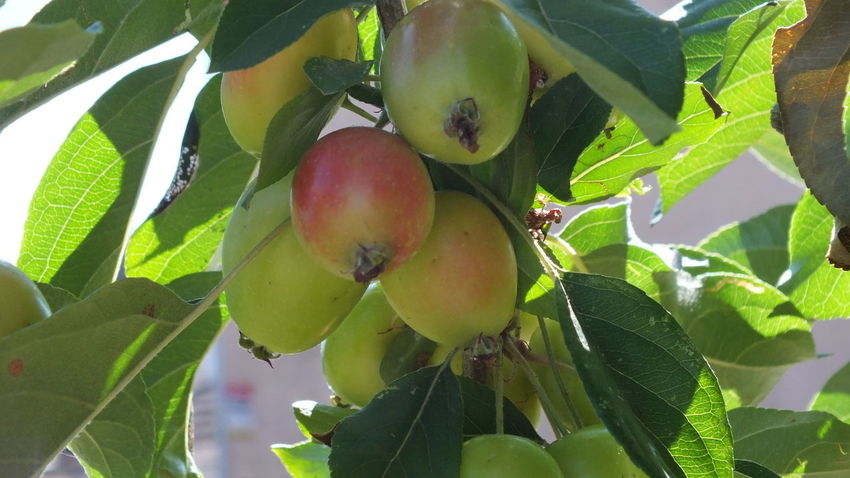 Close-up Day Fruit Fruit Tree Green Color Growth Healthy Eating Leaf Nature No People Outdoors Plant Plant Part Tree