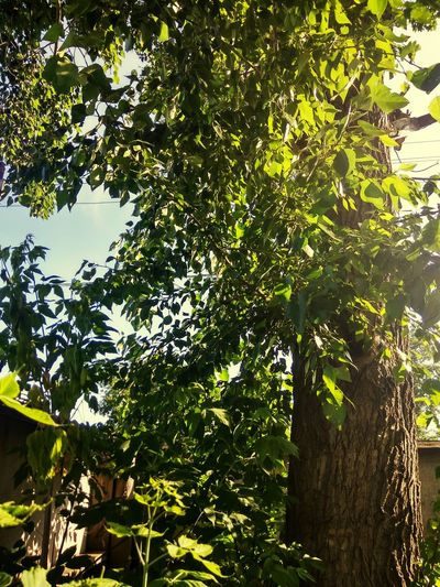 Tree Growth Nature Green Color Outdoors Low Angle View Day No People Forest Branch Beauty In Nature Leaf Plant Freshness Sky клён древо деревья Деревья,тень,свет дерево старое дерево могучее дерево