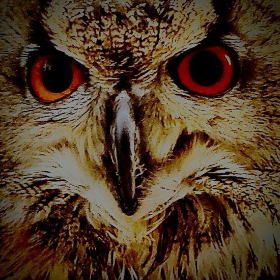 Birdofprey Portrait EyeEm Intense Red Eyes Owl Eyes Intense Get Close