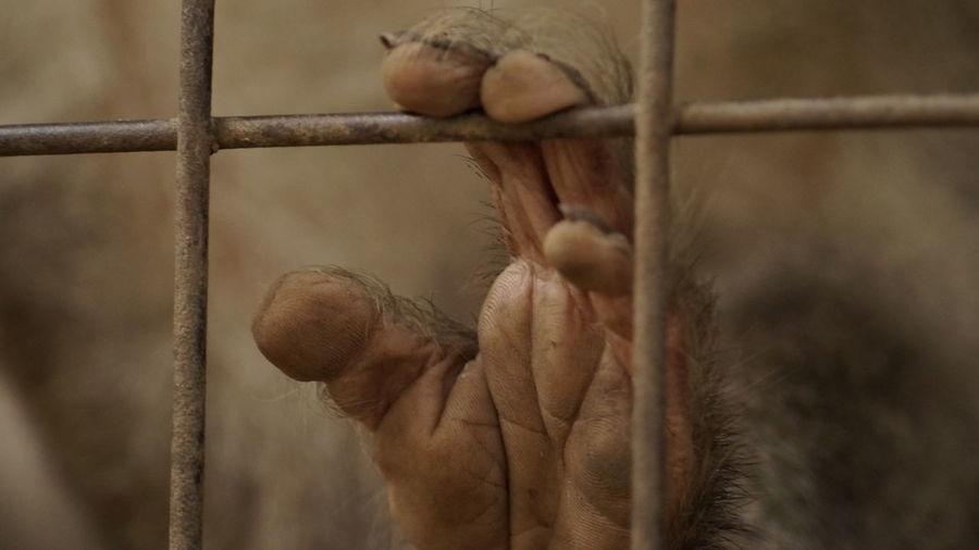 Need some help.. Monkey Focus On Foreground Close-up Fence Person Holding Chainlink Fence Day Zoo Thorn Help Need To Be Free Animal Themes Animal_collection Animal Body Part Prison Alone Fingers Lines Of The Hand Dramatic Angles
