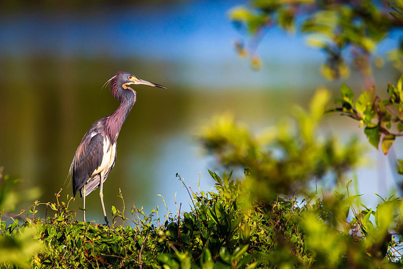 Animals In The Wild Animal Themes Bird One Animal Vertebrate Animal Wildlife Animal Plant Perching Selective Focus No People Nature Growth Heron Beauty In Nature Day Green Color Water Bird Tree Focus On Foreground Beak