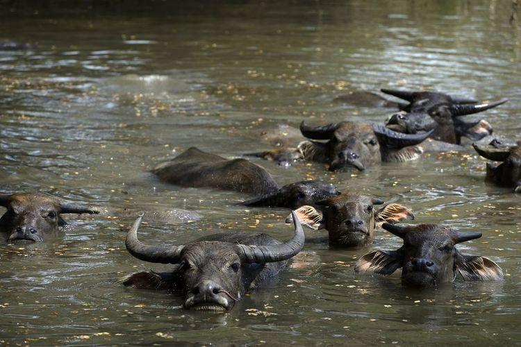 High Angle View Of Water Buffalo Swimming