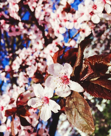 La naturaleza en su esplendor máximo. Belleza efímera de valor incalculable… Nature Photography It Was Perfect Cherry Blossoms Flowerporn Beauty In Nature Iphonephotography Goodvibes Streetfotografie IPhoneography Cherry Blossom Naturaleza Fascinante Belleza Efímera Mayflowers Mayfly Maximum Closeness EyeEmNewHere