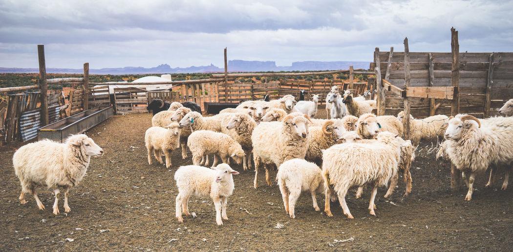 Flock of sheep in pen