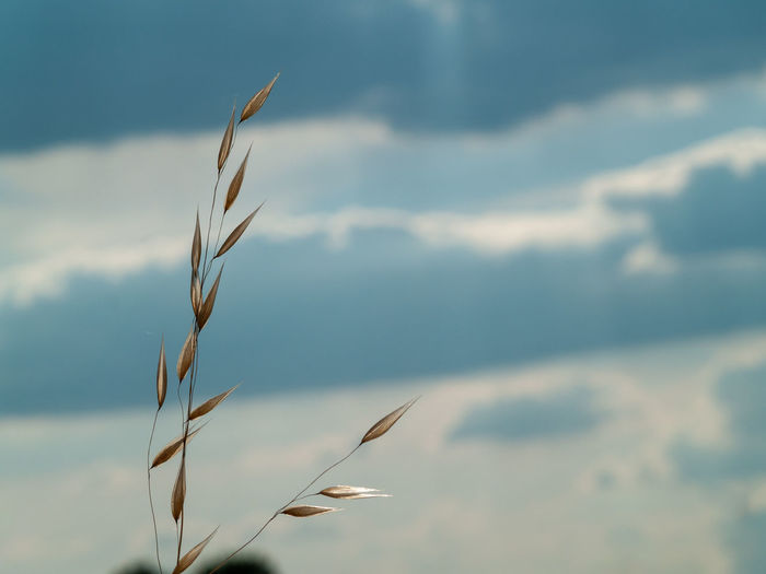 Close-up of stalks against sky in field