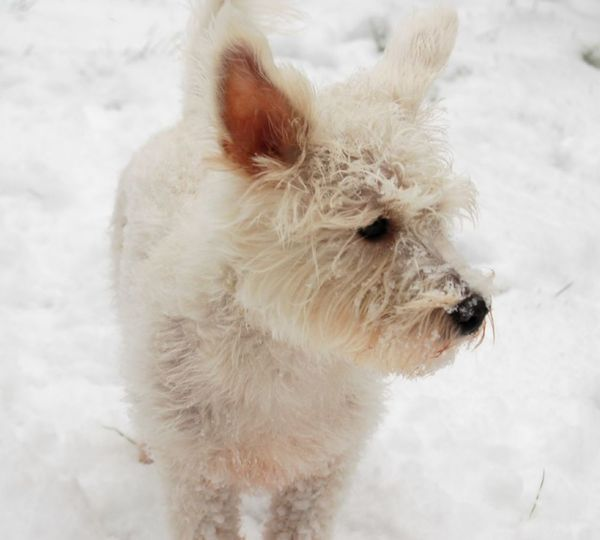 White Dog Standing in the Snow Snow ❄ Snow Dogs Of EyeEm Dog Dogs Shades Of Winter Dog Pets Animal Cold Temperature Snow One Animal Winter Animal Hair Domestic Animals Frost Purebred Dog Animal Themes Outdoors Puppy Cute Ear No People Beach Beauty Shaking