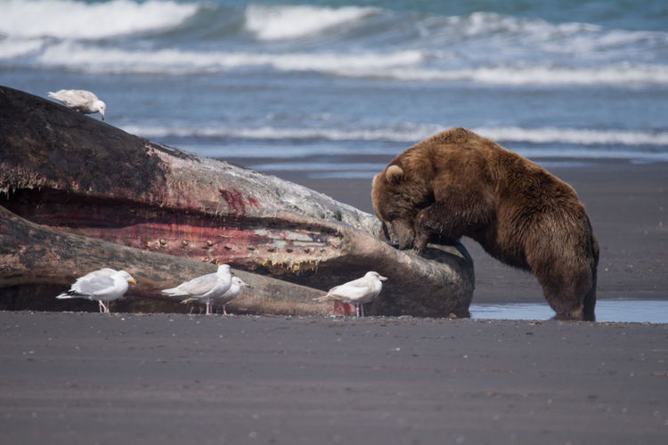 Grizzly bear and seagulls by dead sperm whale at shore