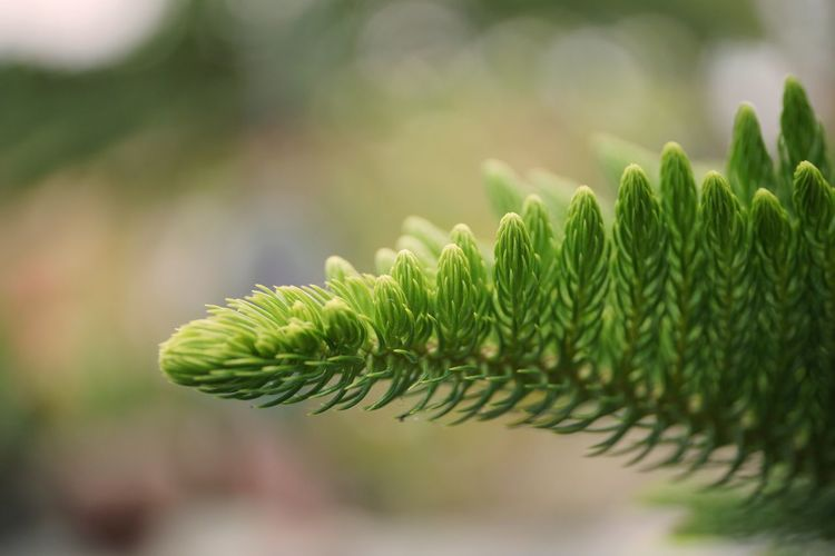 Pine Tree Leaf Frond Fern Close-up Plant Green Color Plant Life Focus