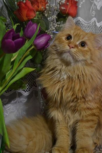 Pets Domestic Animals Domestic Cat Animal Themes One Animal Mammal No People Feline Persian Cat  Indoors  Close-up Flower Day